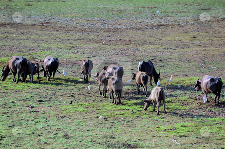 Cattle stock photo, A heard of cattle busy grazing on the field by Arvind Balaraman