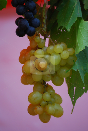 Wine grapes stock photo, Close up of the dark and the white wine grapes by zagart