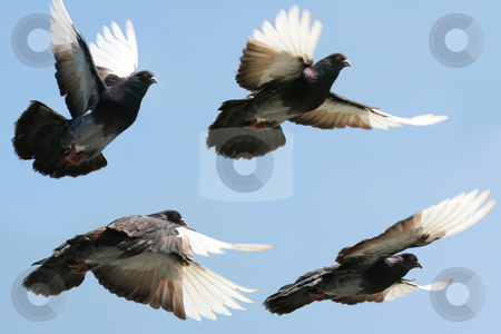 Pigeon in flight stock photo, Composite image of a beautiful pigeon in flight. Four differing wing and body positions. by suemack