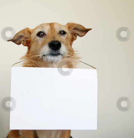 Dog holding a blank sign stock photo, Cute scruffy terrier dog holding a blank sign by suemack