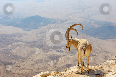 Makhtesh Ramon stock photo, Makhtesh Ramon, mountain goat in the unique crater of Israel by Vladimir Blinov