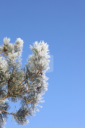 Frosted pine shoots stock photo, Scots pine branches covered in white frost under a blue winter sky by Mike Smith