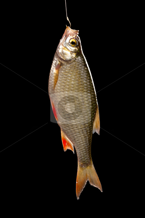 Common rudd stock photo, Common rudd  most widespread fresh-water fish in territory of Asia and Europe. by Sergey Goruppa