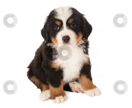 Mountain dog puppy stock photo, 6 weeks old Bernese mountain dog puppy isolated on white by Anneke