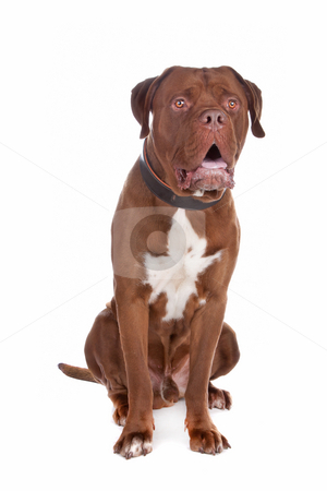 Mix bull mastiff,tosa inu stock photo, Mix bull mastiff,tosa inu ,isolated on a white background by Erik Lam