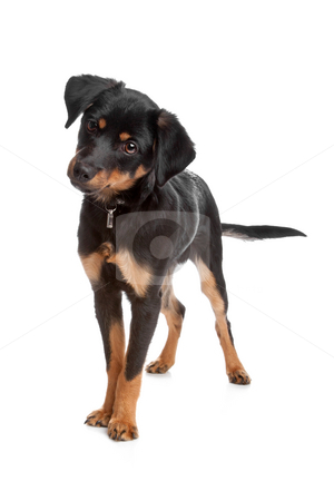 Mixed breed puppy stock photo, Front view of mixed breed puppy standing, isolated on a white background by Erik Lam