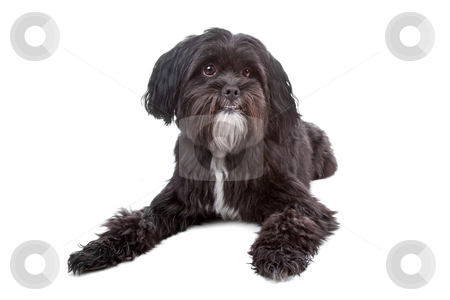 Mix Tibetan Terrier, Shih Tzu stock photo, Mixed breed dog Tibetan Terrier and Shih Tzu lying, isolated on a white background by Erik Lam