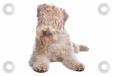 how much is a dog haircut drawing quads lock subeta 5138 | cutcaster photo 100911287 Soft coated wheaten terrier dog