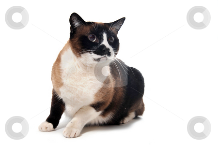 Siamese Cat stock photo, Beautiful purebred siamese cat in front of white background by Bonzami Emmanuelle