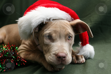 Pit bull pup in a Santa hat stock photo, Cute champagne coloured pit bull pup wearing a Santa hat by suemack
