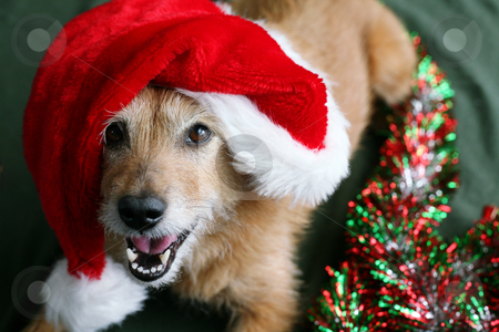 Dog in Santa hat with happy grin stock photo, Cute scruffy terrier dog wearing a Santa hat with a happy grin on her face by suemack