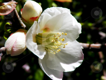 White Plum Blossoms stock photo, Pretty white plum blossoms on this tree. by Mary Lane