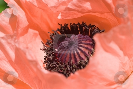 Pink Poppy stock photo, Closeup of the center of a peachy pink poppy flower. by Mary Lane