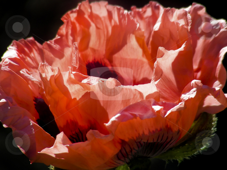 Coral Poppy stock photo, Lovely coral colored petals in a patch of poppy flowers. by Mary Lane