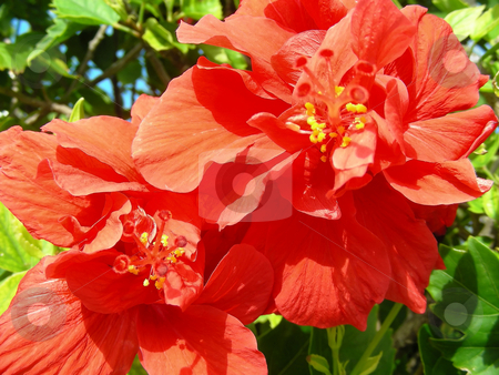 Orange Hibiscus stock photo, Very tropical display - a tree full of gorgeous orange hibiscus flowers. by Mary Lane