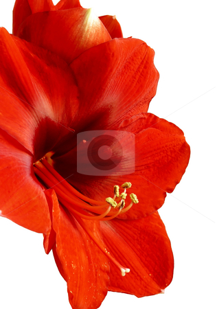 Red Glory stock photo, Isolated shot of a glorious red amaryllis flower. by Mary Lane
