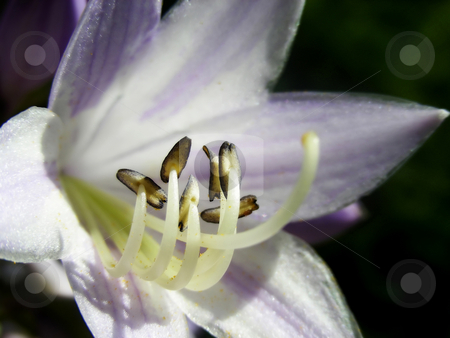 Hosta Blossom stock photo, View of a pretty purple and white hosta flower. by Mary Lane