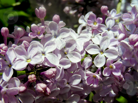 Lilac Branch stock photo, Lovely fragrant sign of spring - purple lilacs. by Mary Lane