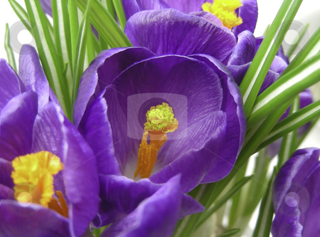 Crocus Garden stock photo, A wonderful spring garden full of crocus flowers. by Mary Lane