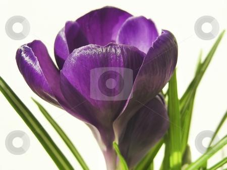 Crocus Petals stock photo, Pretty deep purple petals on a crocus flower. by Mary Lane