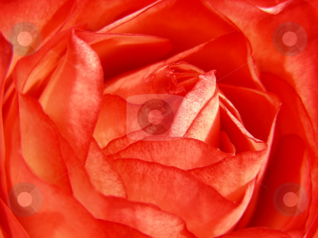 Deep Coral Rose stock photo, Closeup view of the petals of a lovely deep coral rose. by Mary Lane