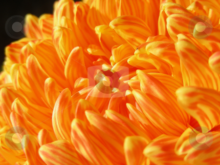 Fall Mum stock photo, Lovely orange stripped mum - just right for fall. by Mary Lane