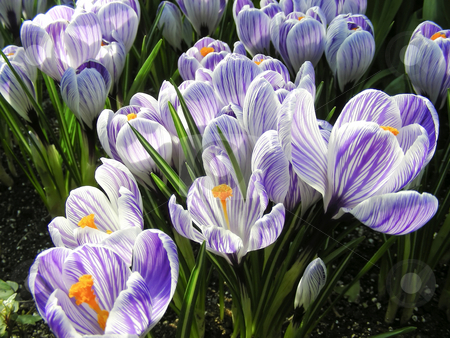 Croci stock photo, A lovely carpet of stripped purple crocus flowers. by Mary Lane