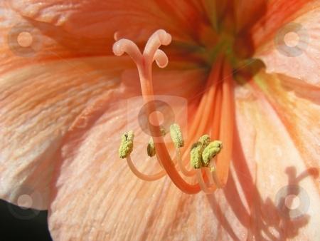 Orange Amaryllis stock photo, Closeup of the insides of a lovely orange amaryllis flower. by Mary Lane