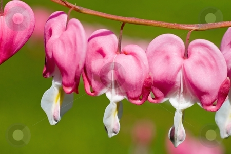 Bleeding Hearts stock photo, Pretty pink bleeding heart flowers string out on a branch. by Mary Lane