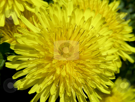 Dandelion stock photo, Closeup they even look pretty - bright yellow dandelions. by Mary Lane