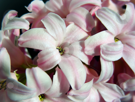 Pink Hyacinth stock photo, A lovely fragarant stalk of pink hyacinth flowers. by Mary Lane