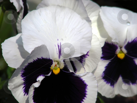 Pansies stock photo, A bouquet of pansies, always a garden favorite. by Mary Lane