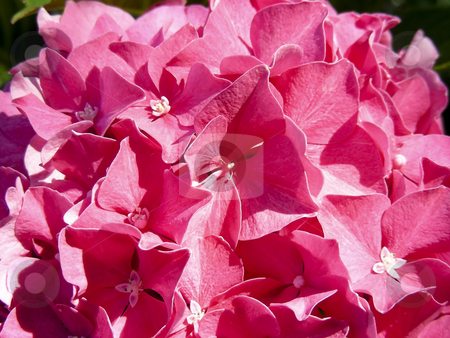 Pink Hydrangea stock photo, A pot full of cheery pink hydrangea flowers. by Mary Lane