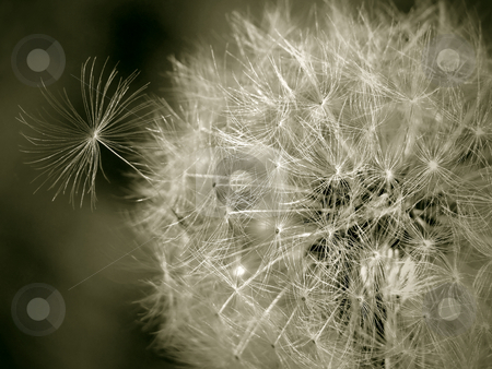 Seedy Dandelion stock photo, Closeup of a dandelion gone to seed. by Mary Lane