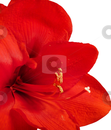 Amaryllis  stock photo, Isolated closeup of a red amaryllis flower. by Mary Lane