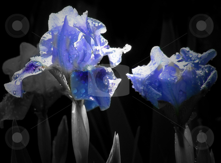 Ghost Irises stock photo, A beam of sunlight and water drops make a ghostly display on these blue irises. by Mary Lane