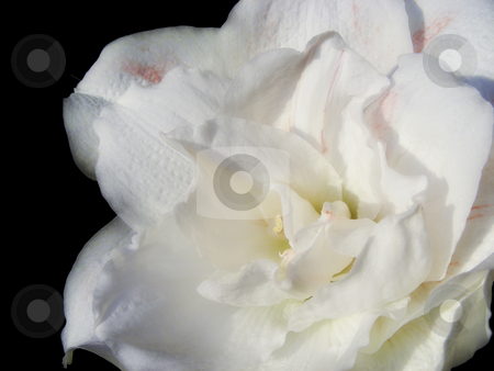 White Amaryllis stock photo, A lovely soft white amaryllis flower. by Mary Lane