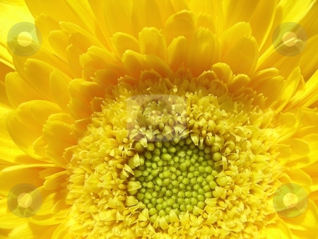 Sunshine Yellow stock photo, Center of a bright sunshine yellow gerber daisy. by Mary Lane