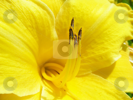 Yellow Lily stock photo, The center of a pretty yellow lily flower. by Mary Lane