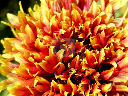 Autumn Colors stock photo, I am not sure what this flower is, but the autumn colors are really pretty. by Mary Lane
