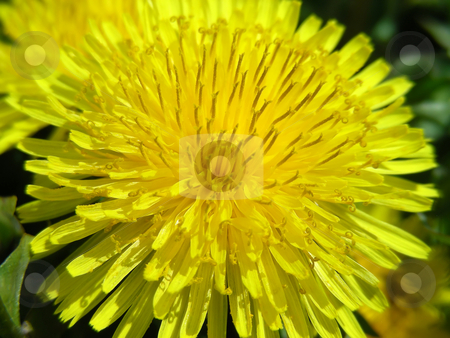 Dandelions stock photo, It's amazing how pretty a dandelion can look close up. by Mary Lane
