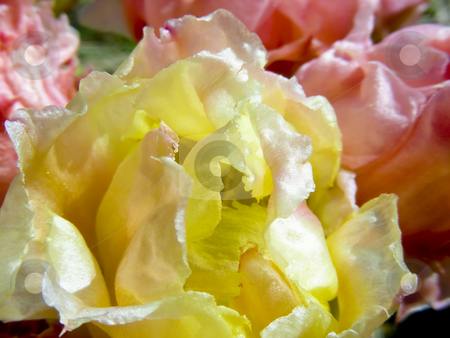 Yellow and Pink Cactus stock photo, Lovely pastel yellow and pink petals in a patch of prickly pear cacti. by Mary Lane