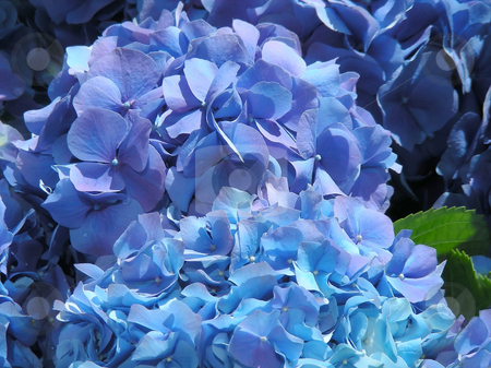 Blue Hydrangea stock photo, Pots of lovely blue hydrangea for sale - a first sign of spring. by Mary Lane