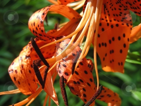 Tiger Lily stock photo, Closeup of a spotted orange day lily flower. by Mary Lane