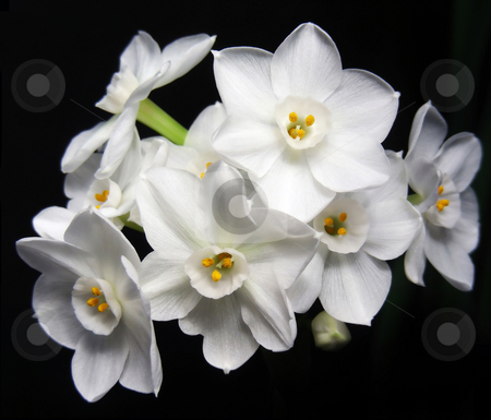 Pretty Paperwhites stock photo, Isolated bunch of paperwhite flowers on black. by Mary Lane