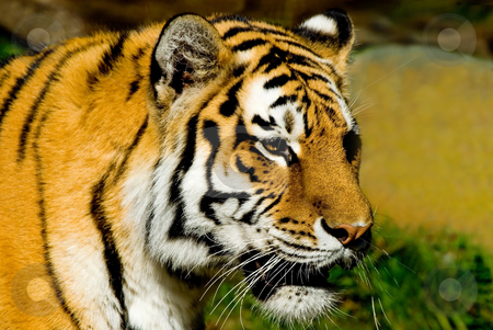 Siberian Tiger stock photo, Majestic looking Siberian Tiger at the San Francisco zoo. by Mary Lane