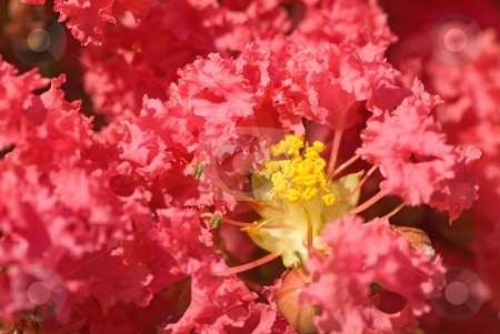 Crepe Myrtle stock photo, Lovely, plush, pink flowers on a crepe myrtle tree. by Mary Lane