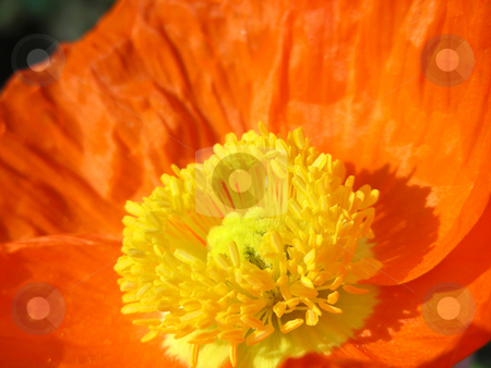 Orange Poppy stock photo, Bright, pretty and very orange - a California Poppy. by Mary Lane