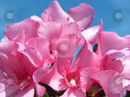 Oleander stock photo, Pretty pink oleander bushes along the side of the street, Santa Clara, California. by Mary Lane