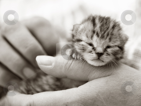 Newborn kitten in the hand stock photo, Homeless animals series. Tiny tabby kitten sitting in the hand of his foster mom. by suemack
